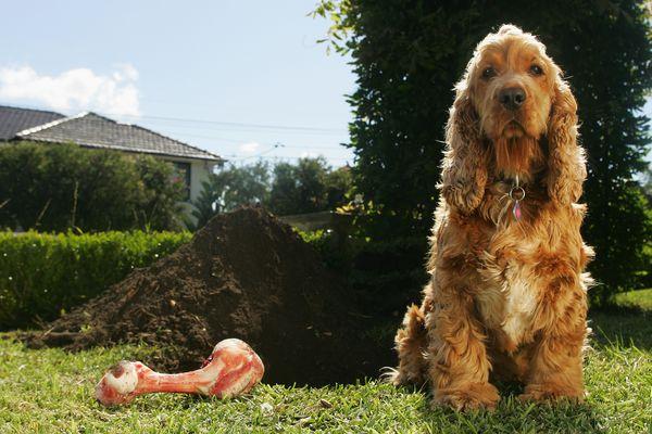 Cocker Spaniel with Bone Sitting Next to a Large Dug Hole