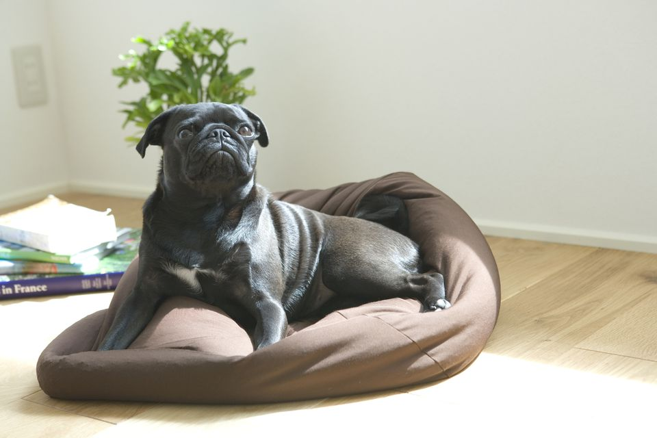 Pug dog on bed, go to place