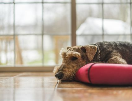 Airedale Terrier laying on dog pad on tile floor.