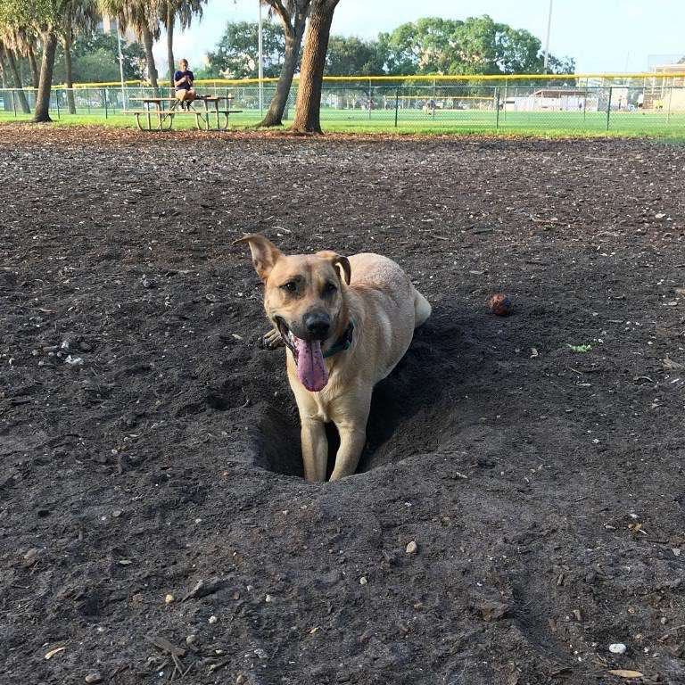 A dog in park digging a hole