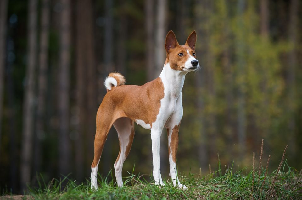 Basenji standing in front of a blurred forest background