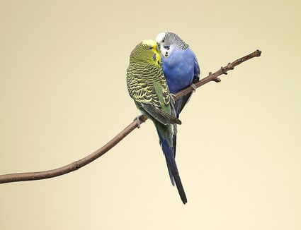 Two budgies kissing on a branch