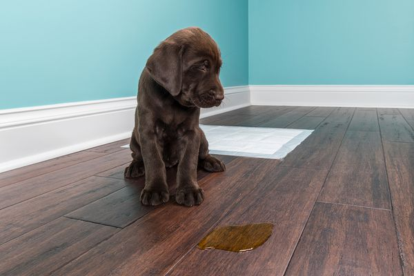 A Chocolate Labrador puppy grimacing next to pee on wood floor