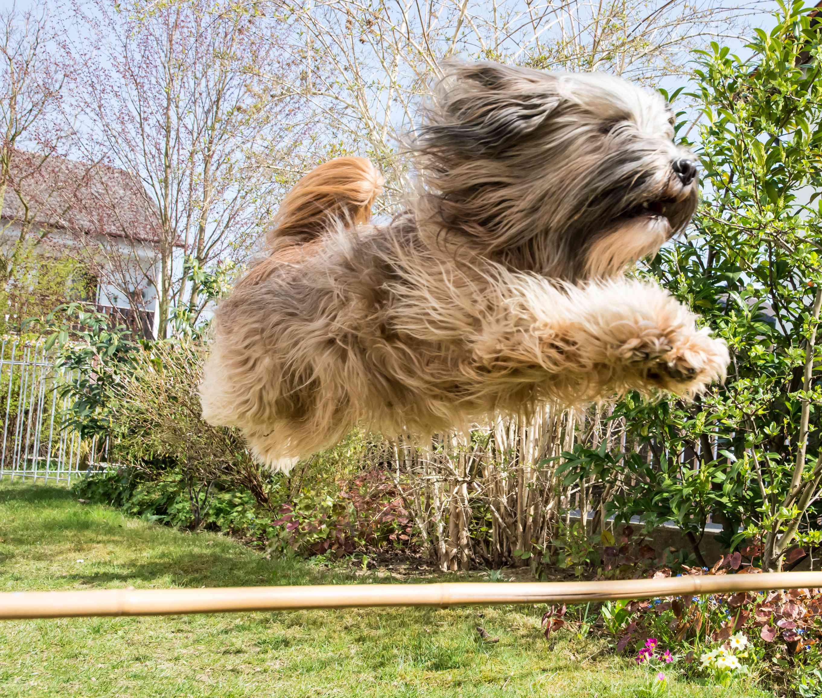 Tibetan Terrier going over a jump