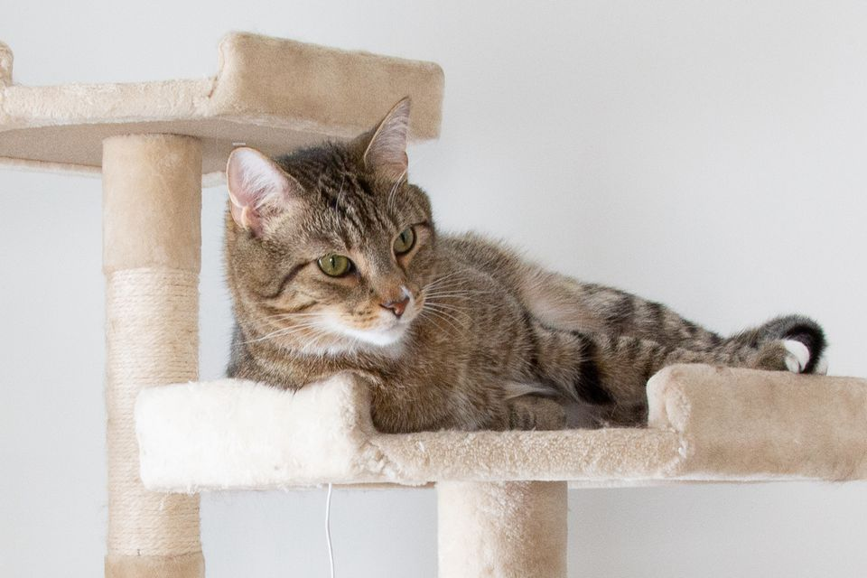 Brown cat laying down in high post on cat tree