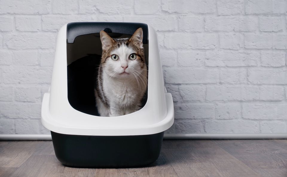 cat standing in litter box