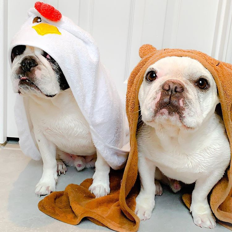 Two French Bulldogs looking at the camera sheepishly with towels over their heads.