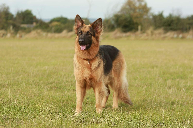 herding dog breed group - german shepherd