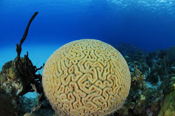 A brain coral.