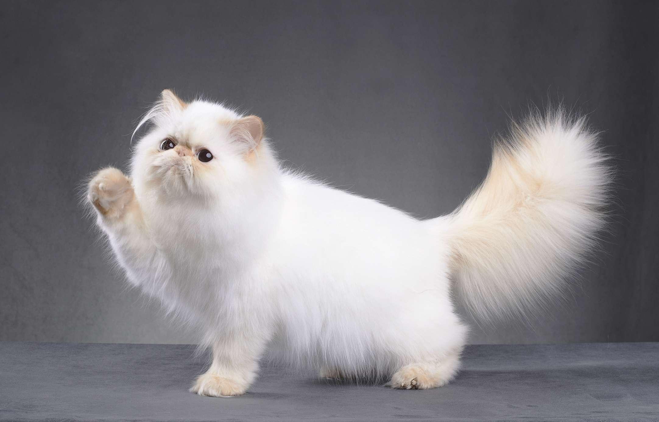 Lindo gatito persa