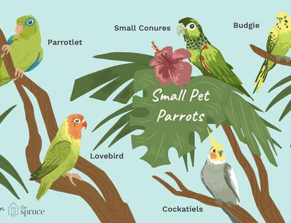 illustration of small pet parrots