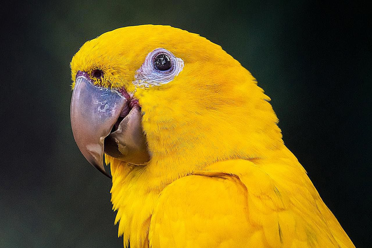Headshot of a golden conure