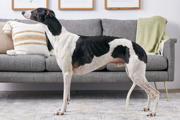 Greyhound dog standing indoors in profile