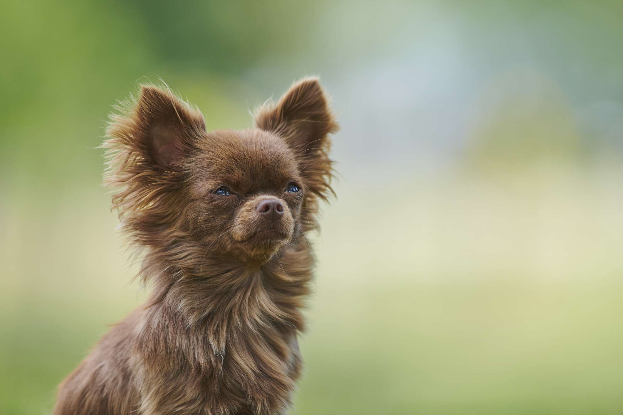 Brown longhaired chihuahua sitting in a park
