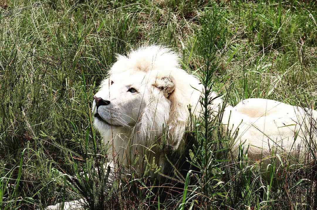 An albino lion resting in tall grass.