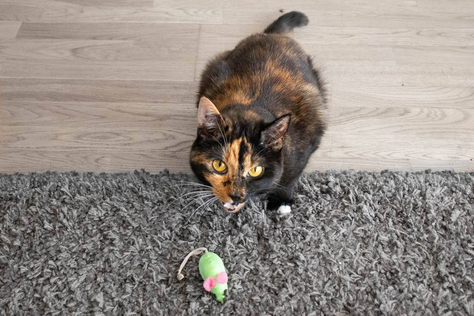 Orange and black cat behind a green toy mouse on gray rug