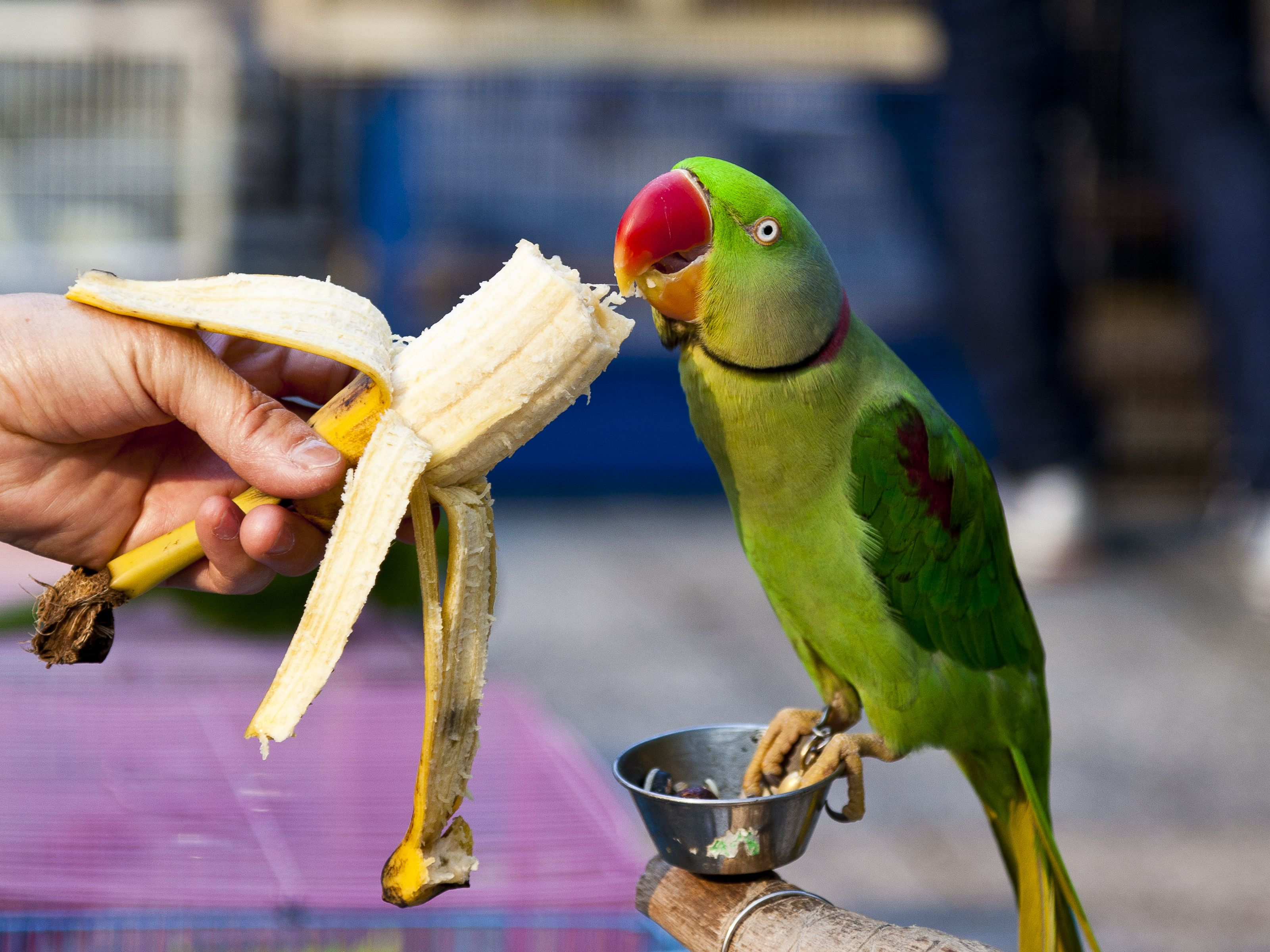 what do parrots need in their diet