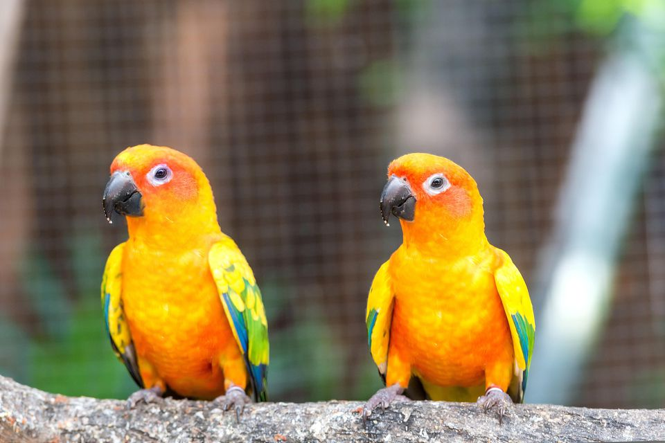 Two sun conures on a branch