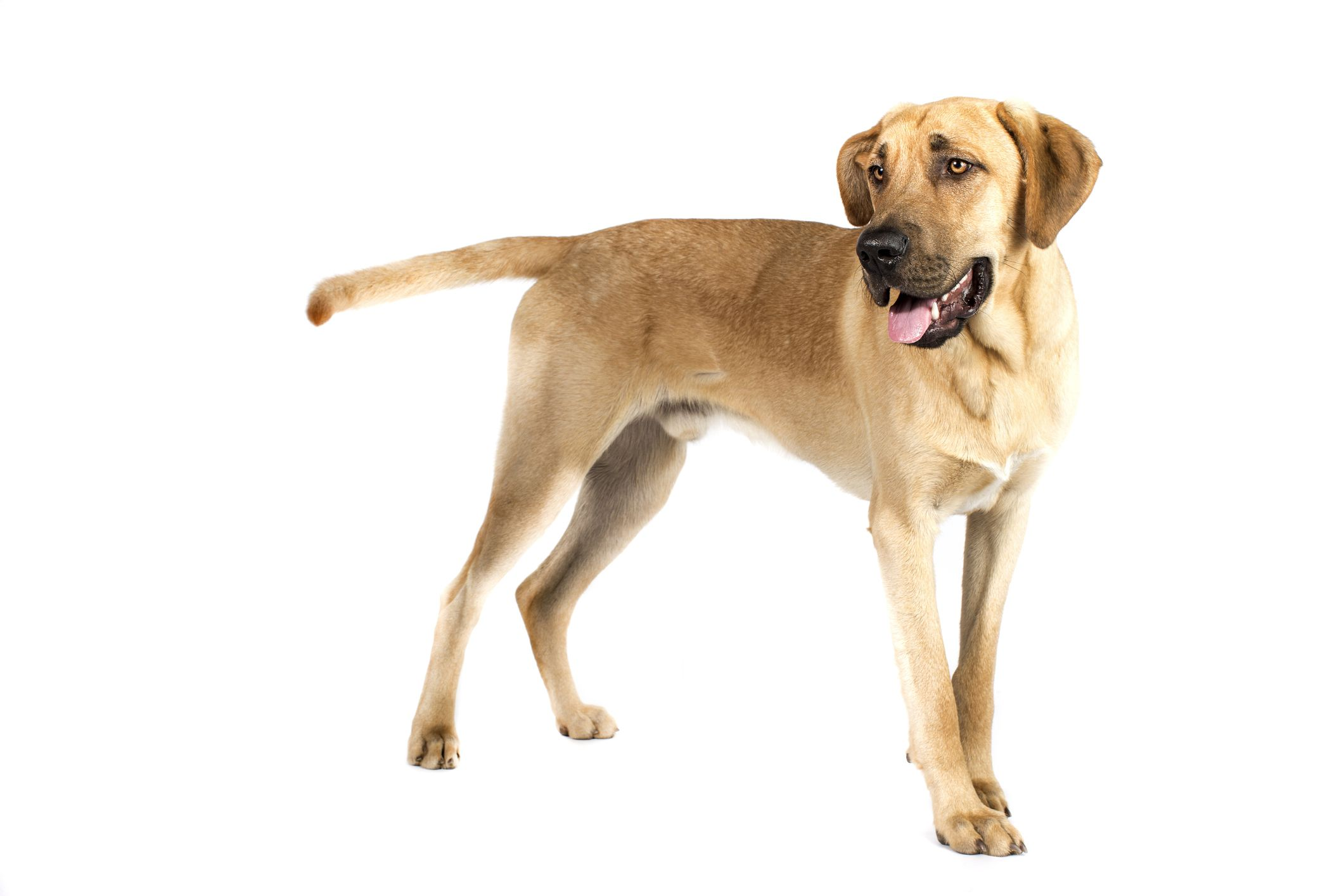 Broholmer dog standing