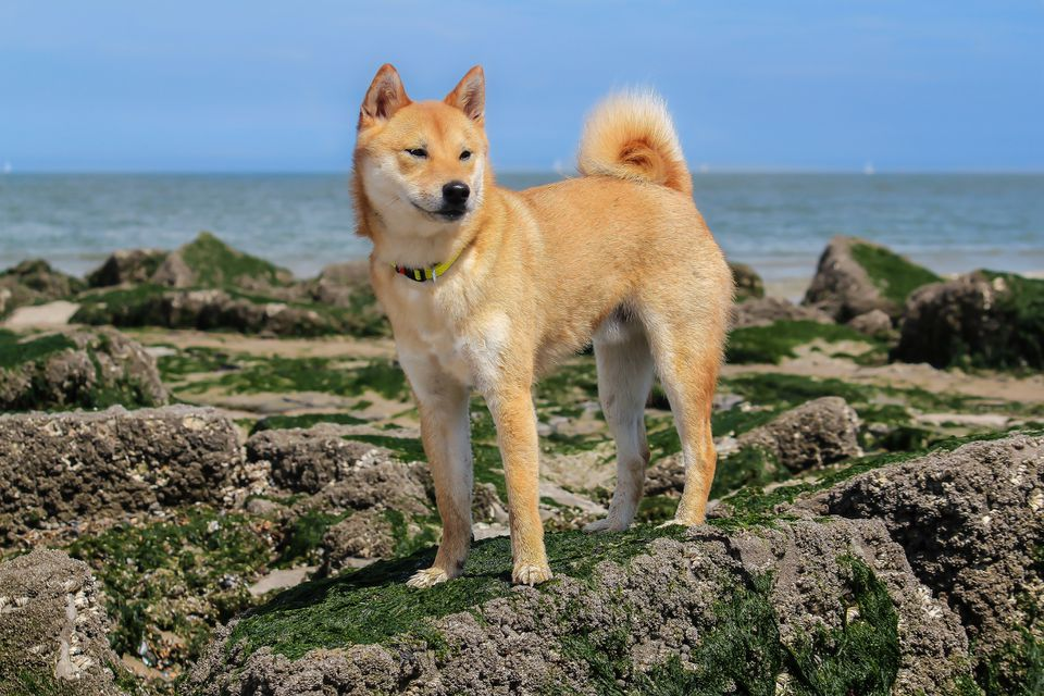 A Shiba Inu standing on rocks in front of the ocean