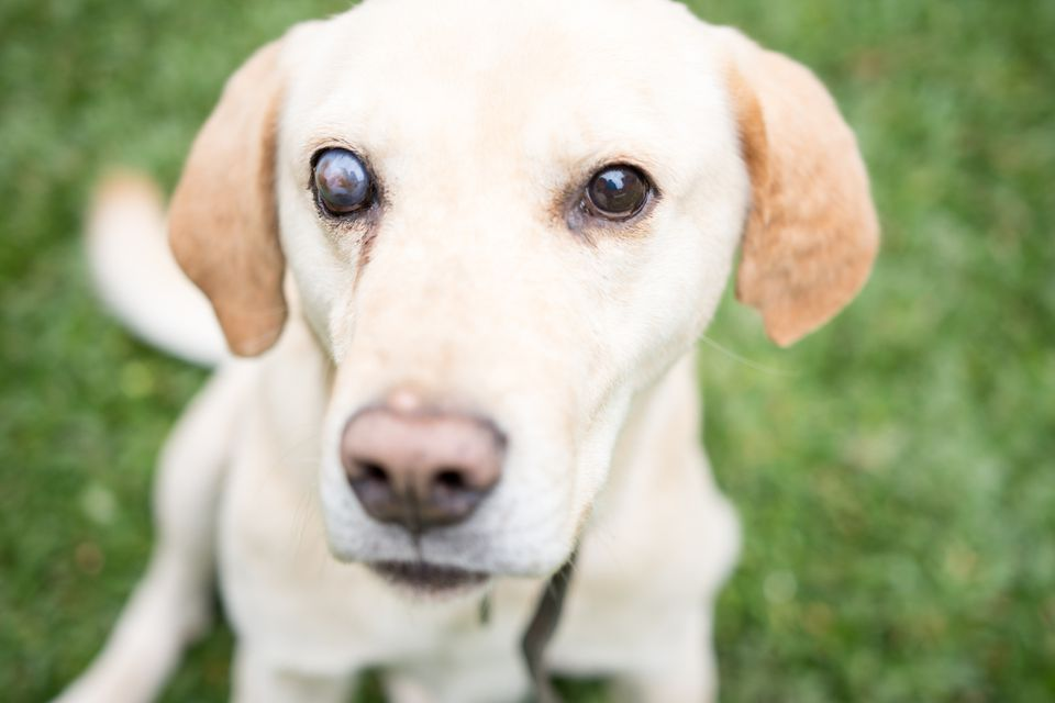 Portrait of Yellow Labrador with blindness in one eye.