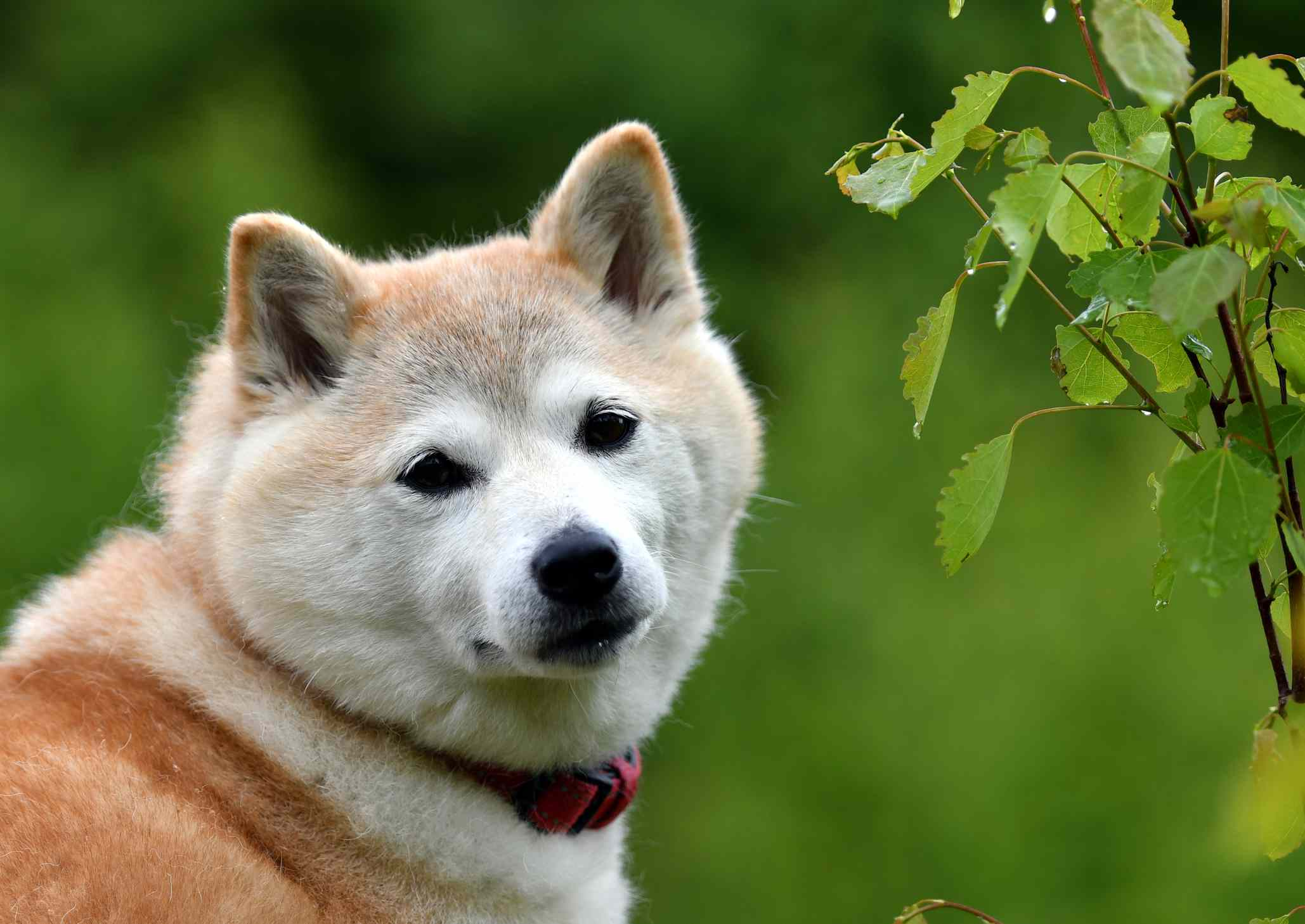 old shiba inu outside Longest Living Breed of Dog by thevetscare.com