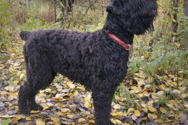 Adult black Russian terrier outside