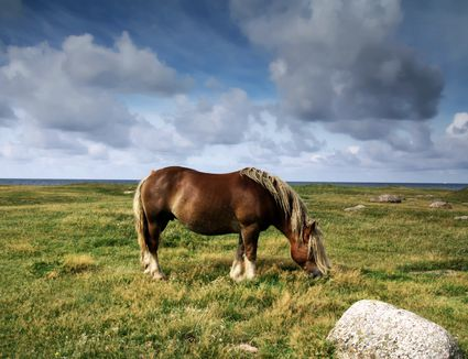 Ardennes horse grazing in a field