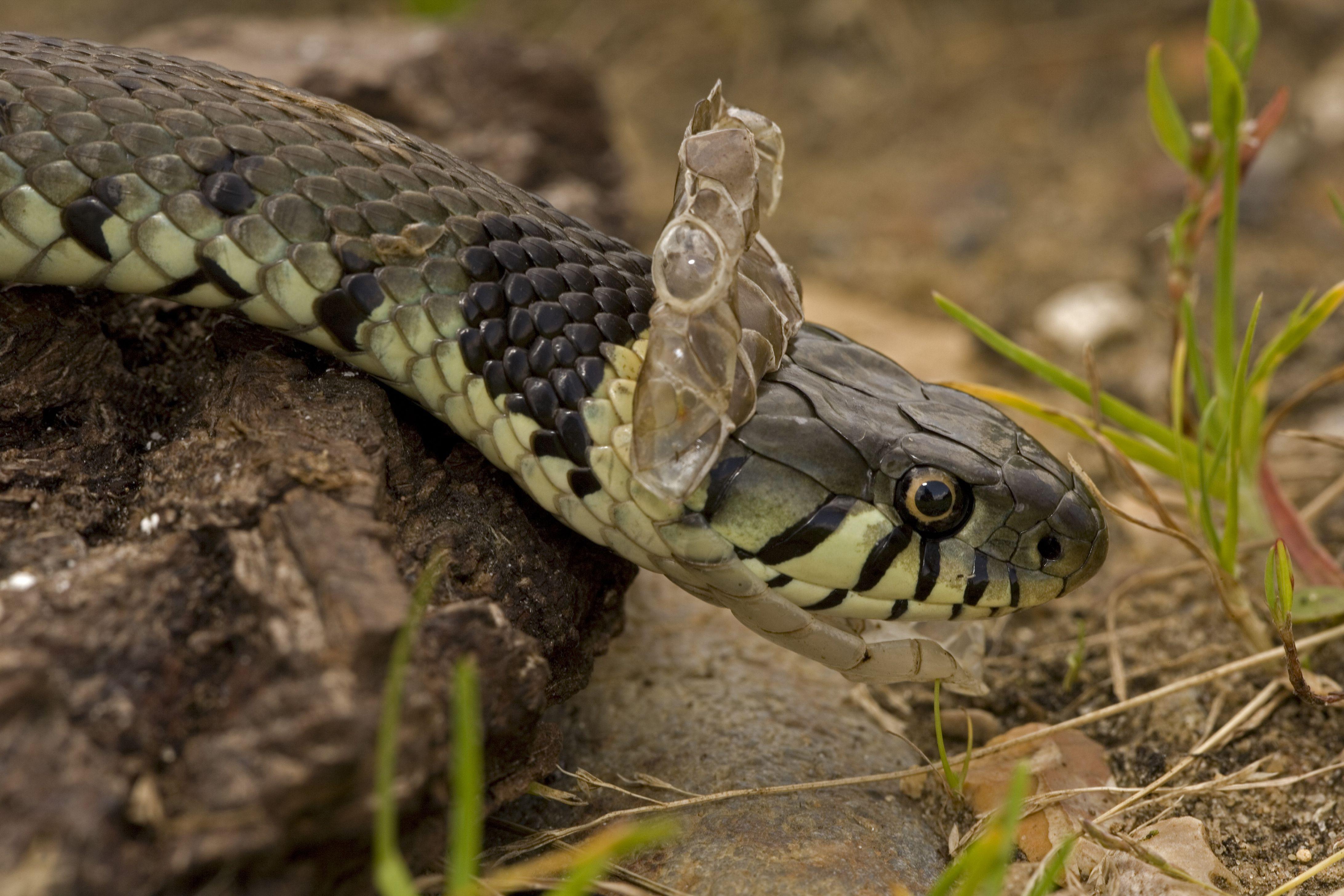 Grass Snake, Natrix natrix, shedding skin