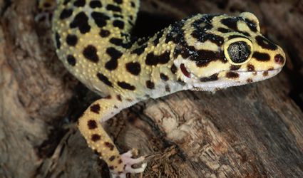 Leopard gecko close-up on a log