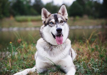 Adorable Pictures And Fun Facts About Siberian Huskies