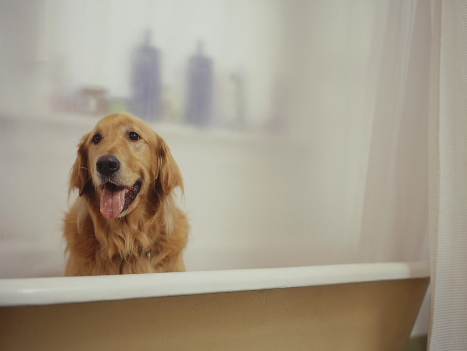 Golden Retriever sitting in bathtub