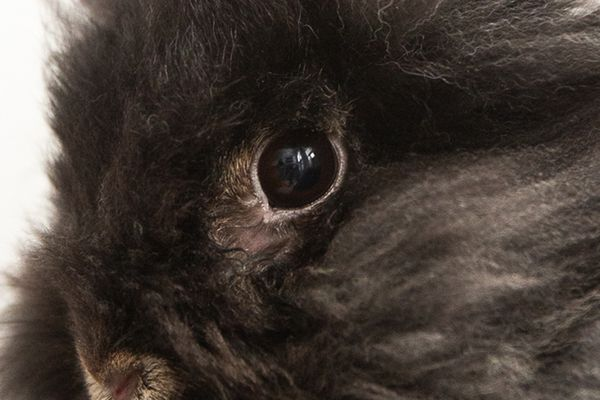 Black rabbit's eye closeup