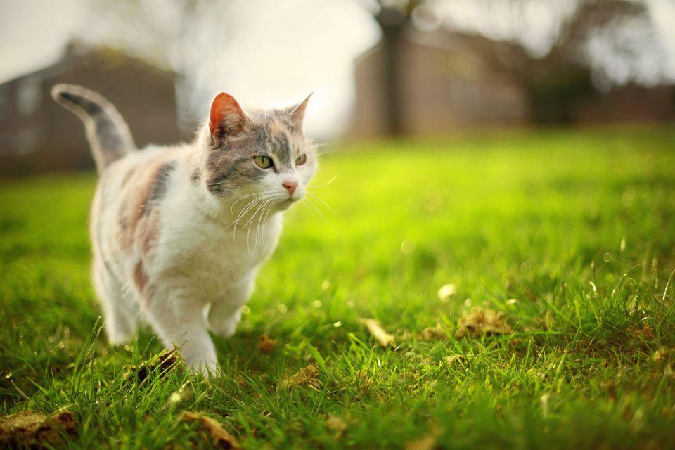Cat walking across grass outside; feral cat vs stray cat