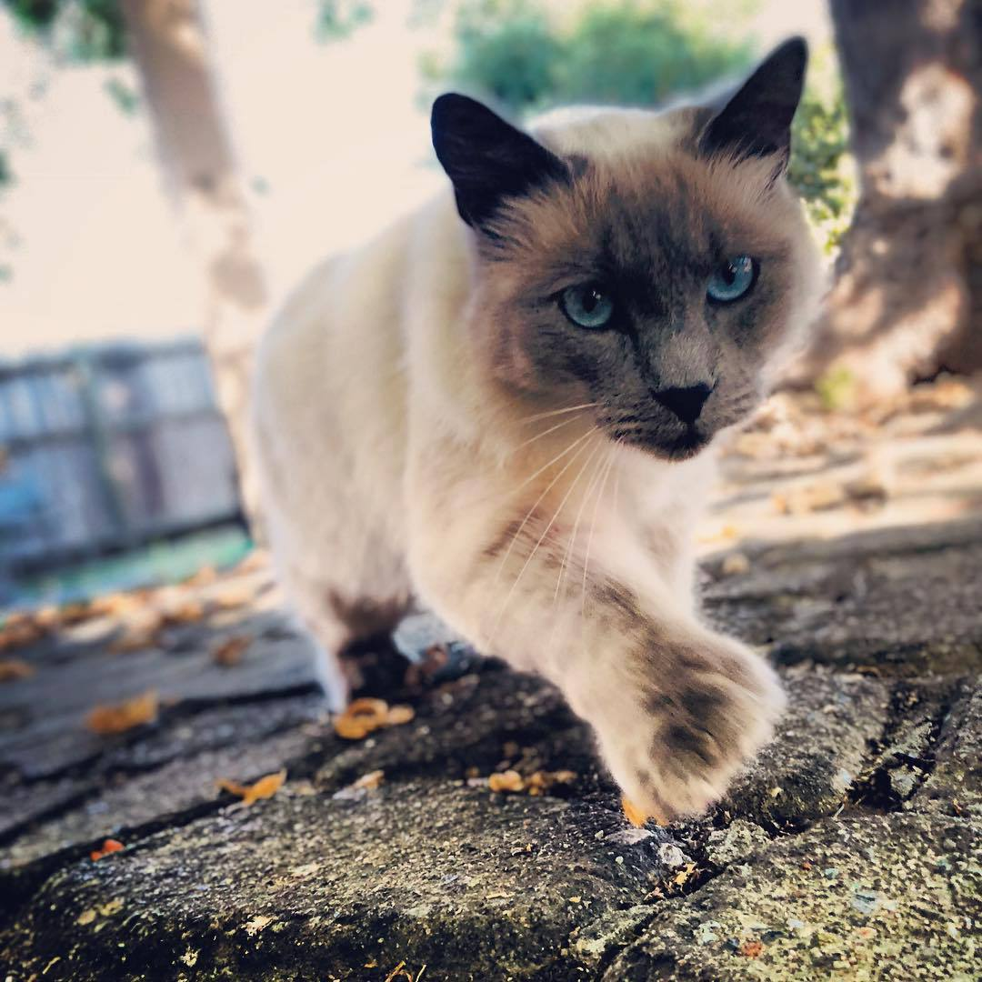 A polydactyl Siamese cat hunting.