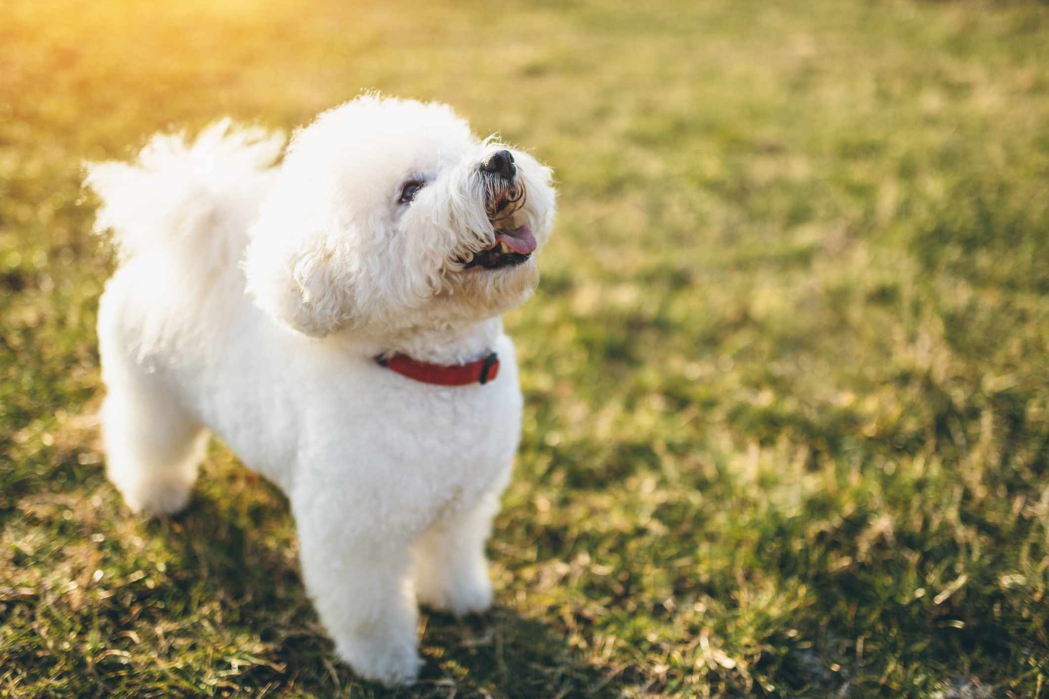 A white bichon frise dog standing outside and looking up.