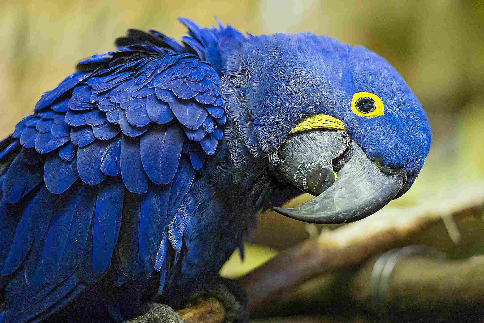 Close-up shot of a hyacinth macaw