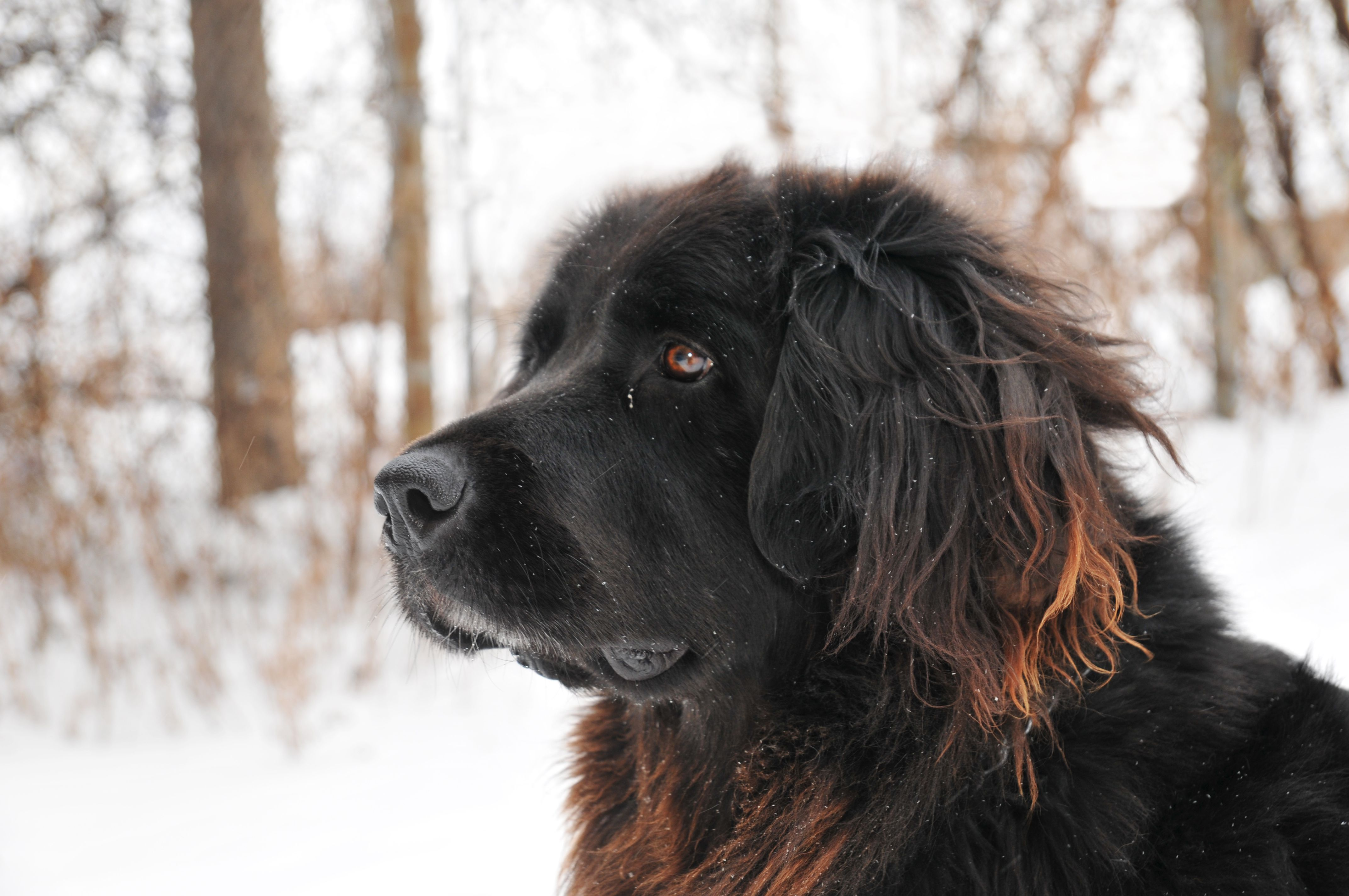 black Newfoundland in snow outdoors