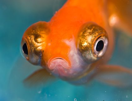 Goldfish with Popeye