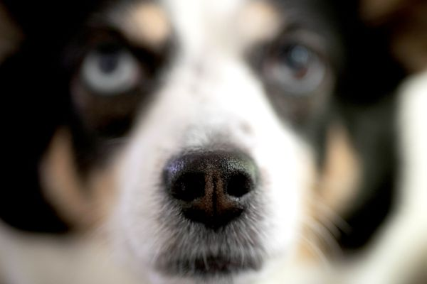 Black and white dog nose closeup