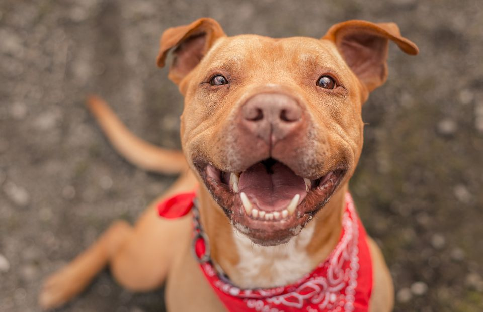 Brown Pit Bull Terrier in red bandana smiling at camera.