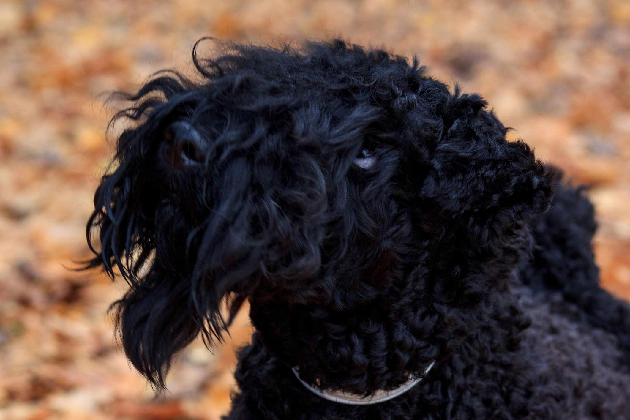 Young Kerry Blue terrier portrait
