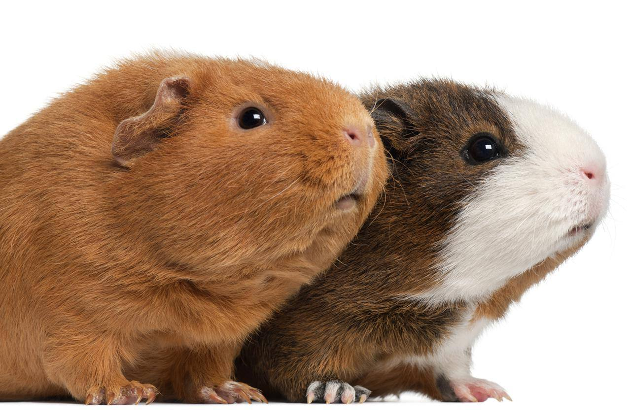 Two guinea pigs (9 months old)