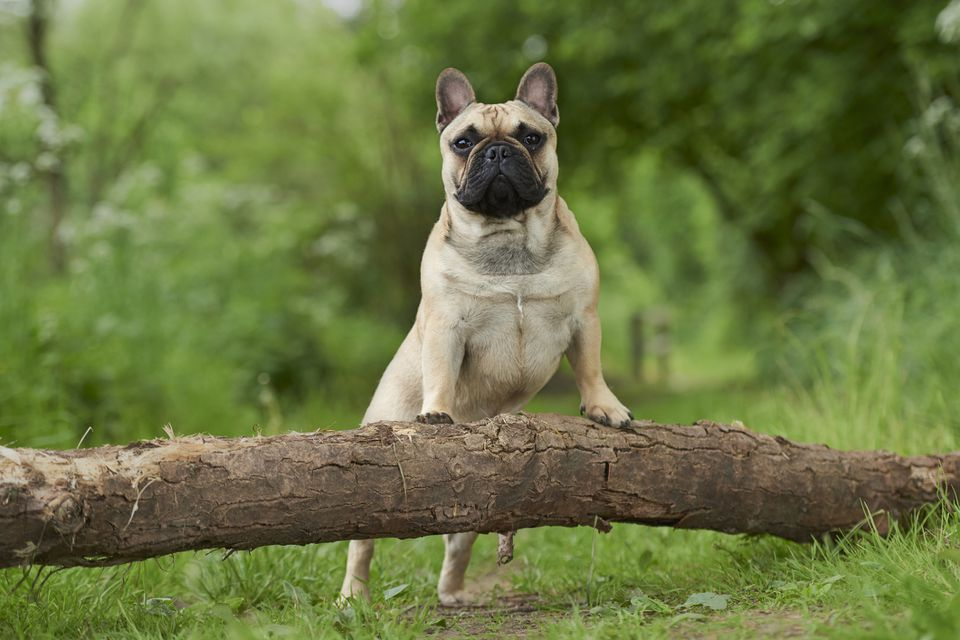 Frenc Bulldog standing with front feet on a log