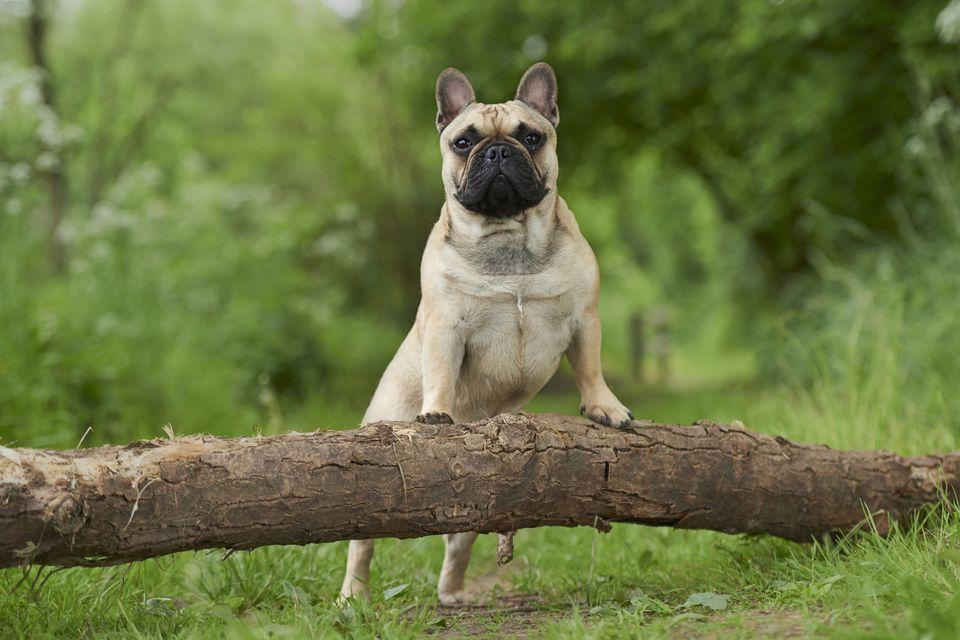 Frenc Bulldog de pie con los pies delanteros en un tronco