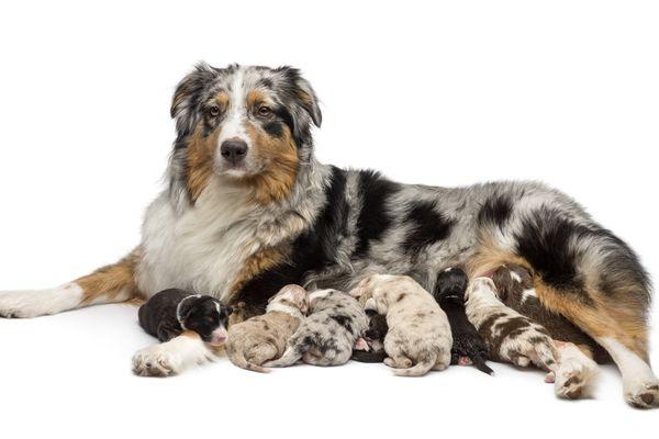 australian shepherd mother dog and nursing puppies