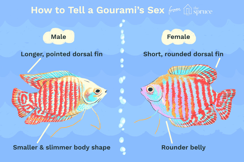 Ilustración de cómo contar el sexo de un gourami