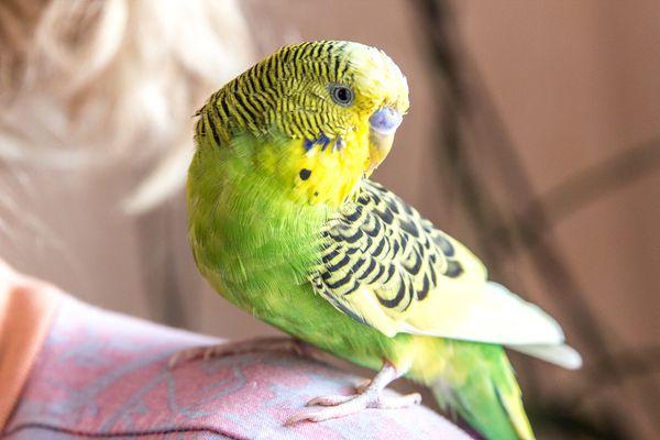 Green Parrot sits on shoulder