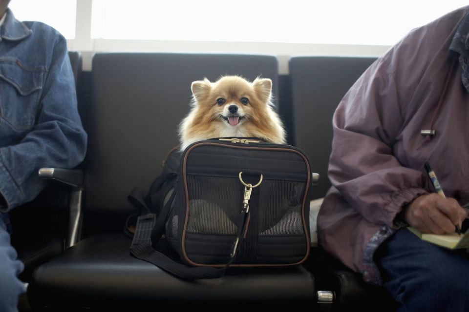 Pomeranian dog in travel bag