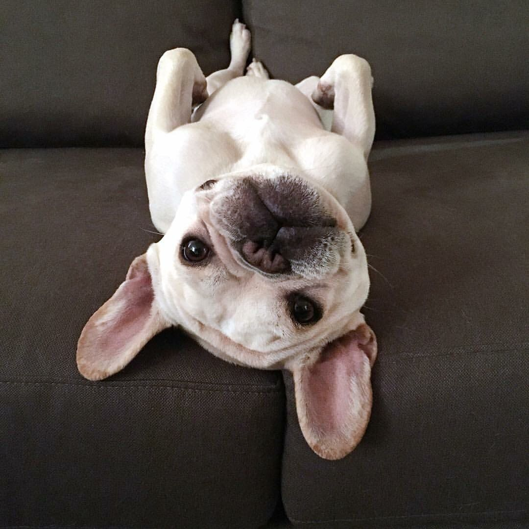 A french bulldog laying on the couch upside down.